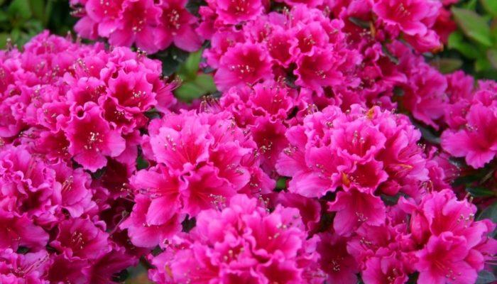 Rüyada açelya çiçeği görmek
