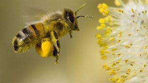 Arı Nasıl Bal Yapar 3