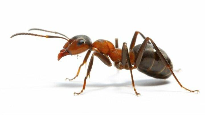 falda karınca görmek